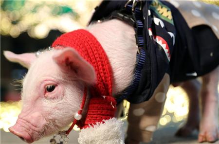 """妙语连""""猪"""" 看淡了,心境才会坦途 看开了,心情才会明媚"""