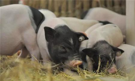 """妙语连""""猪""""养猪人要活得漂亮、走得铿锵"""