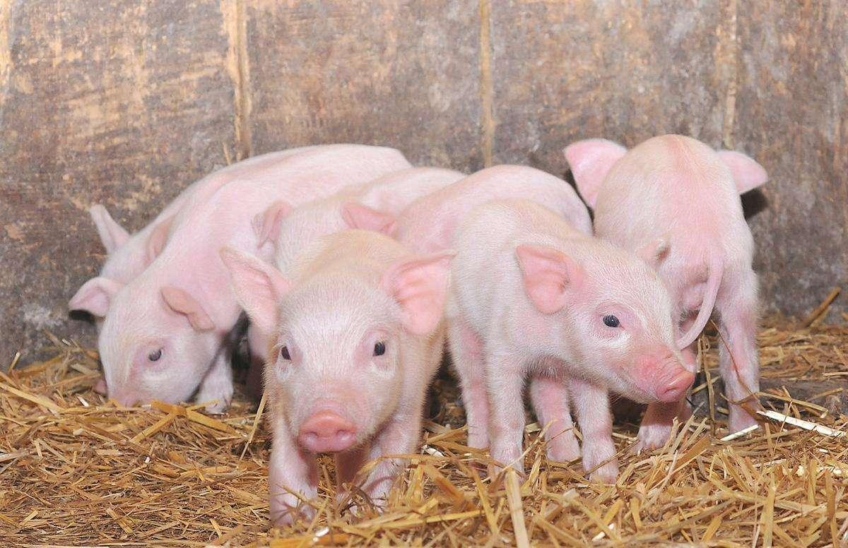正大集团来宾百万头生猪全产业链项目奠基