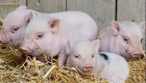 专家说养猪污染环境!养猪人:我们养只专家得了!