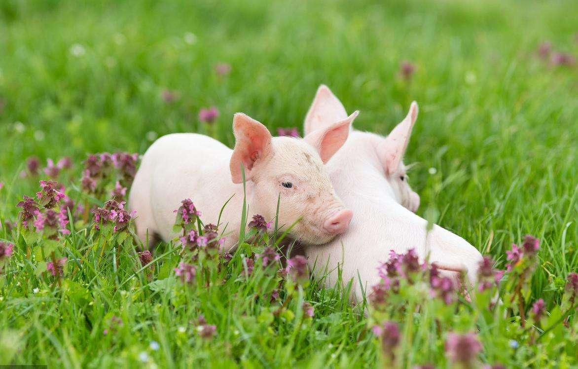 政府为你撑腰,耕地可以用作养殖了,养猪好消息!&猪价行情