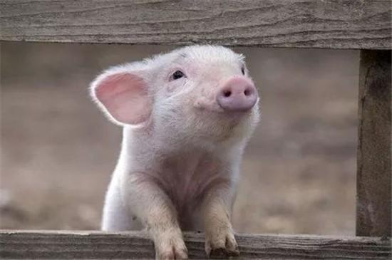 猪贵老百姓吃不消,猪便宜养猪户吃不消,预计稳定30元左右正好!