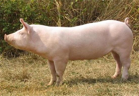 猪场各审批手续齐全,周边村民担忧环境污染坚持举报,您的猪场是否也有这样的困扰?