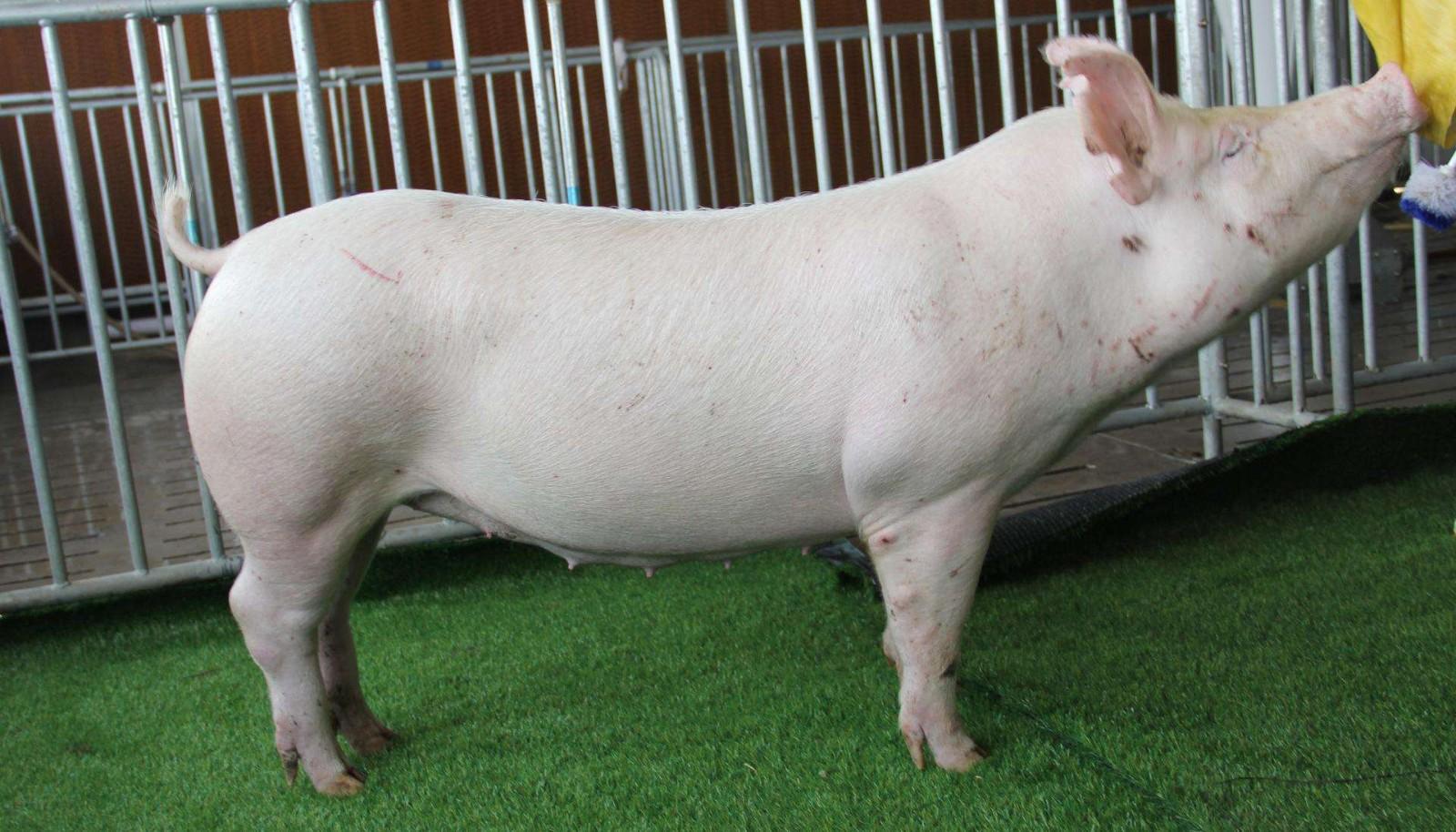 """08月15日猪价:猪价大部分呈现上涨趋势,少许""""飘绿""""!"""
